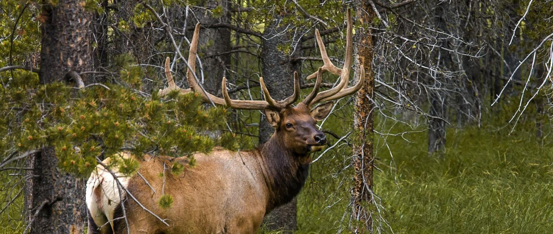 Elk roam the Madison Valley and Madison range