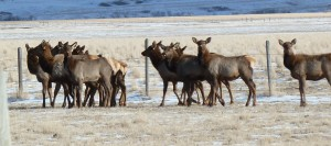 Elk herd near Jack Creek