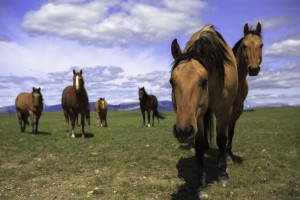 Horses in the Madison Range