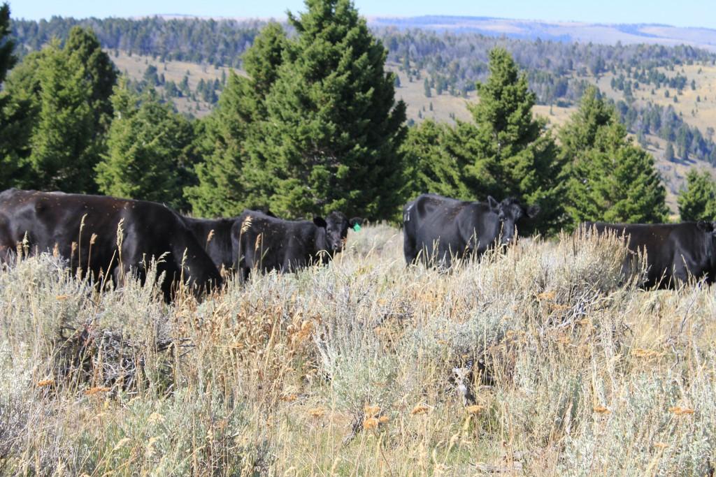 bulls seen hiking gravelly range
