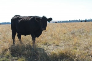 montana wildlife: wild bull on gravelly range road