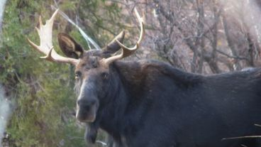 Bull Moose in Madison Valley, Montana