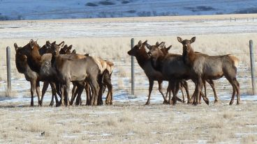 Elk herd near Jack Creek Madison Valley