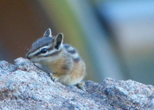 chipmunks will visit your picnic